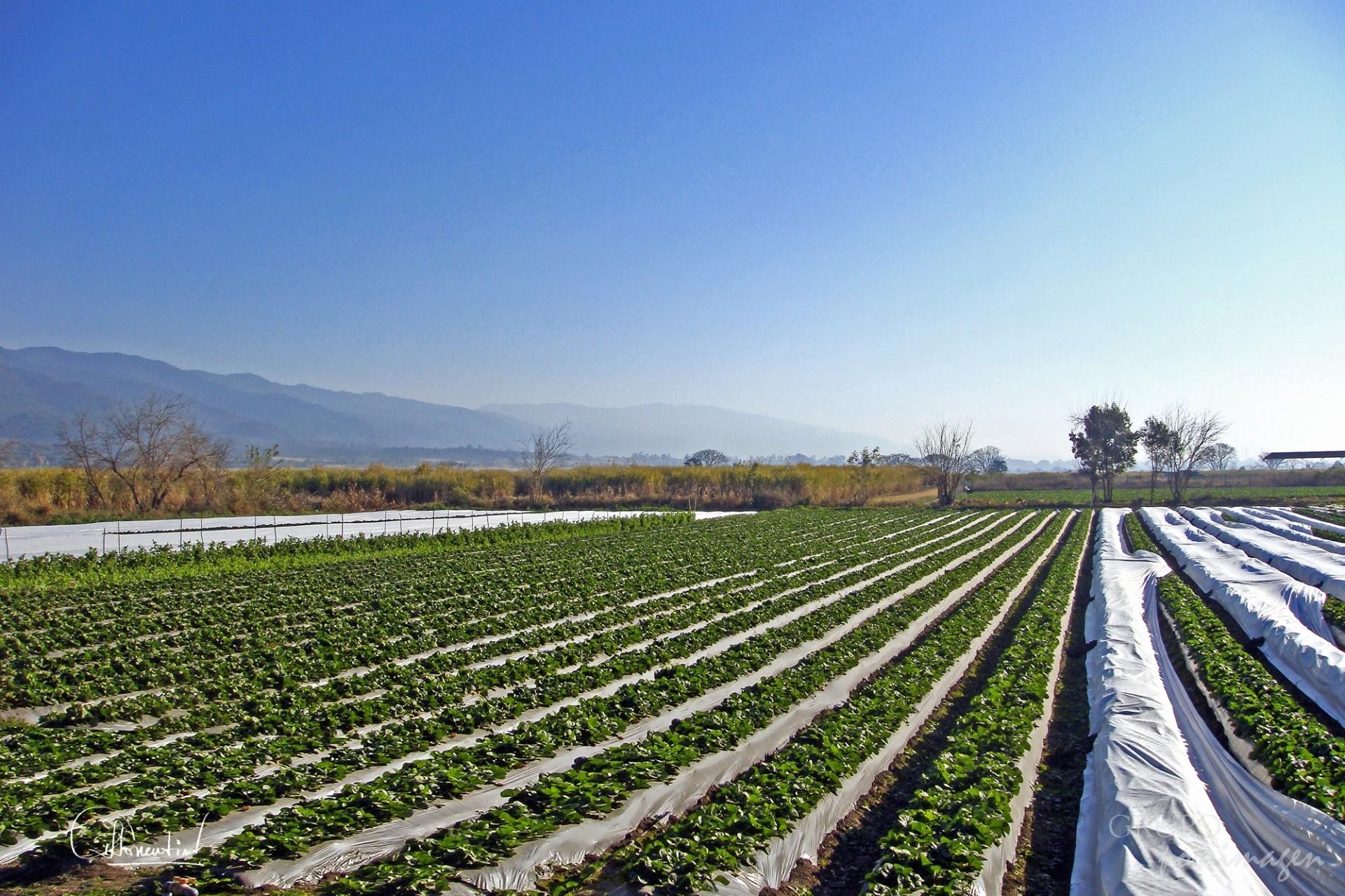 Plantacion de Frutillas Lules – Tucumán / Ana Lía Sorrentino
