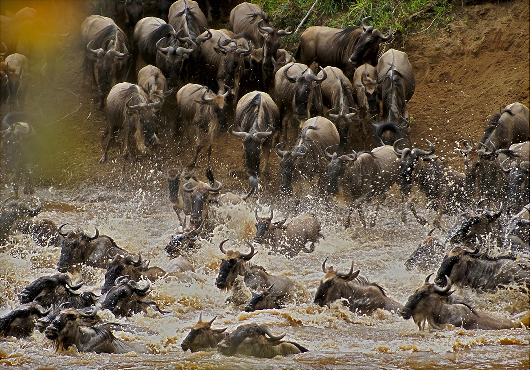Ñuss cruzando el Río Massai Mara Kenya / Graciela Lavado