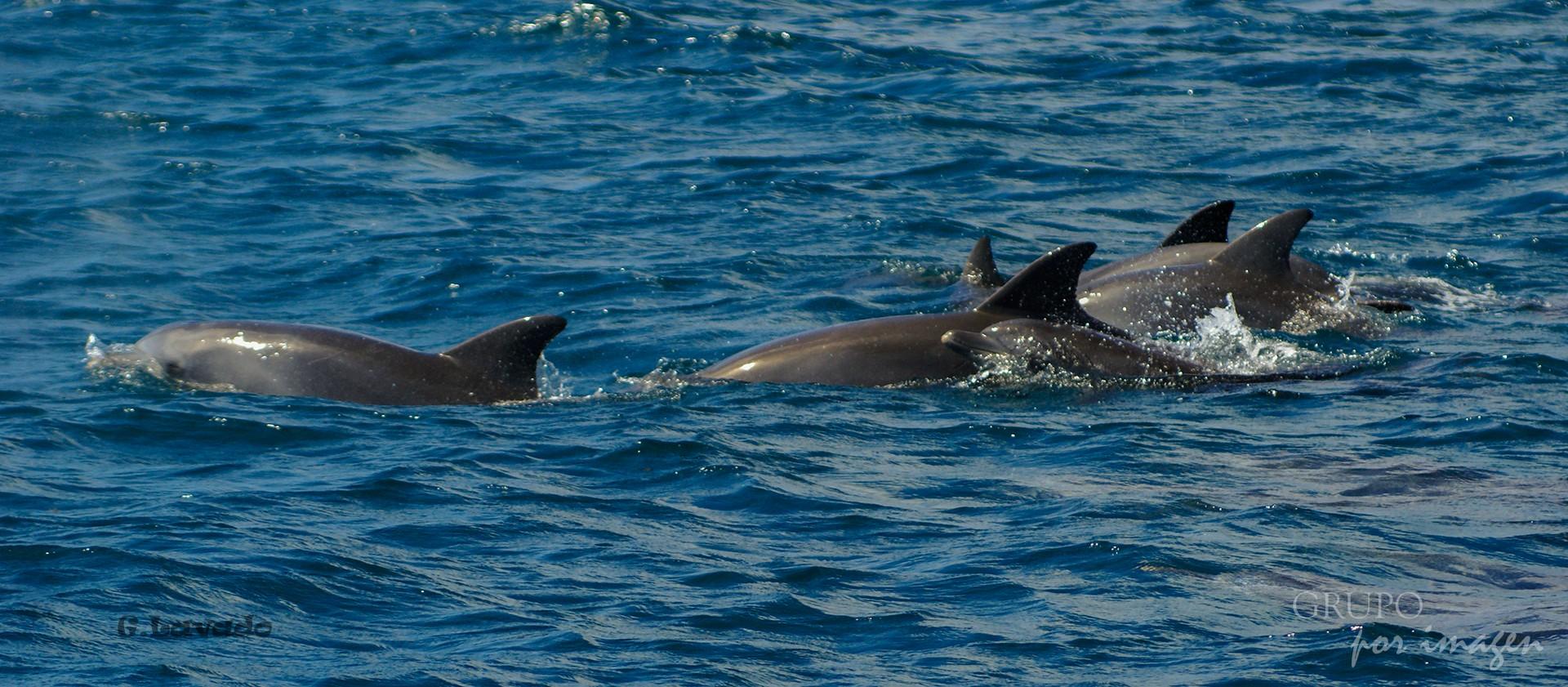 Delfines en Océano Índico / Graciela Lavado