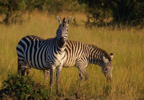 CEBRAS en  PARQUE NACIONAL AMBOSELI- Kenya