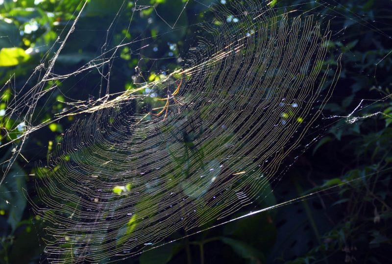 La tejedora de la seda dorada (Nephila claviphes)