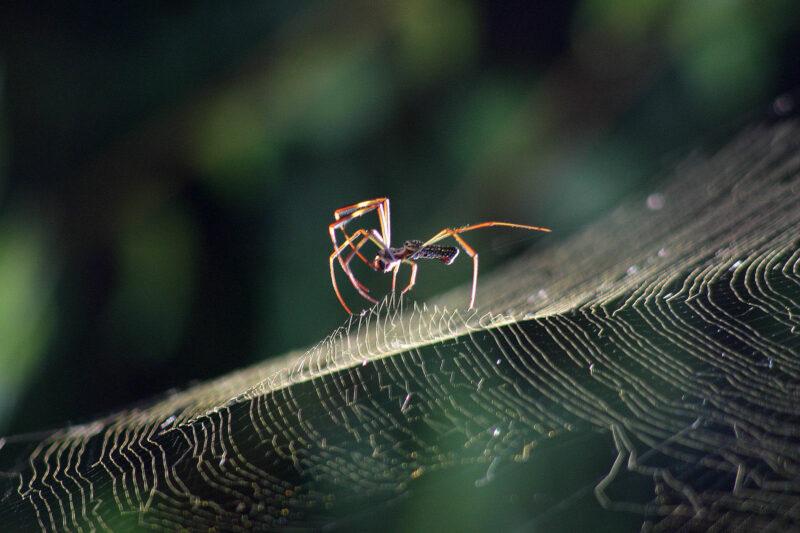 La tejedora de la seda dorada (Nephila Clavipes)